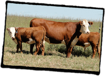 GRANZOW HEREFORDS